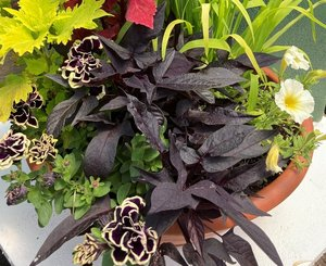 Midnight Gold combo Hanging Basket (c11)